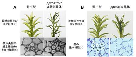 VNS遺伝子を変異させる(A、Bの右側)と、ヒメツリガネゴケの通水組織が異常になり、葉もしおれる