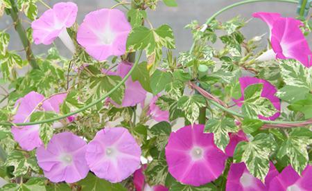 EFPタンパク質が働かず、花の色が淡いアサガオの突然変異体(左)と正常なアサガオ(右)
