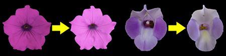 EFPの働きを抑えて色が薄くなったペチュニュア(左)とトレニア(右)