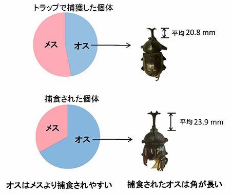 バナナの発酵液で誘引して採集したのと、食べられたカブトムシの性比や角の長さの比較