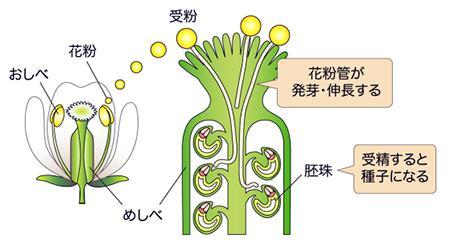 シロイズナズナの花とめしべの内部構造