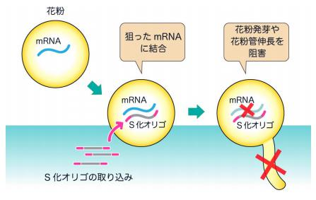 S化オリゴを用いた花粉管内の遺伝子発現阻害の原理