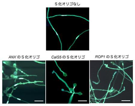 3種類の遺伝子を抑制するS化オリゴを加えた場合の花粉管の伸張の抑制と乱れ
