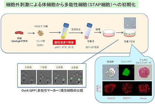 リンパ球を酸性溶液で刺激することで、2日以内に初期化が始まり、多能性を示すマーカーの発現が認められた。7日後にはそれらの細胞は、細胞塊を形成した