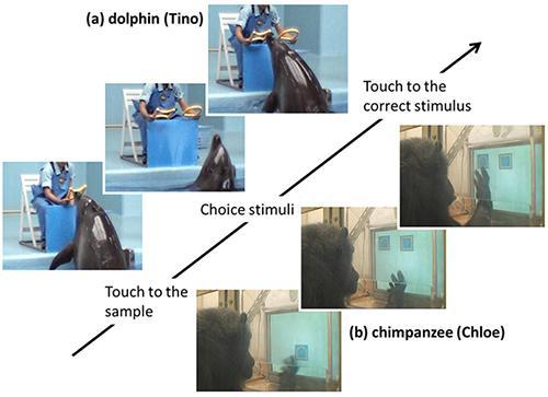 イルカとチンパンジーの実験の様子