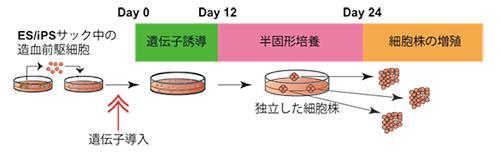 「不死化赤血球前駆細胞」の作製方法