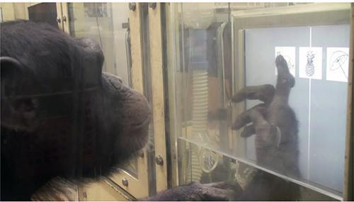 先に見たのと同じ線画を、3つの線画の中から選ぶチンパンジー