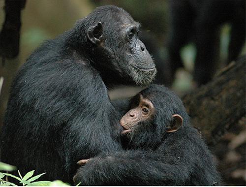 母親のチンパンジーと授乳中の子供