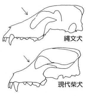 縄文犬と現在の柴犬の、頭蓋骨の側面の比較