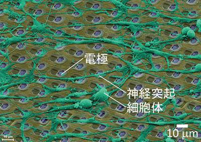 微小電極アレイで培養した神経細胞の電子顕微鏡像