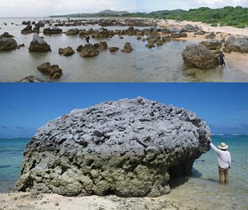 上は石垣島東海岸の津波石群。 下は「バリ石」と呼ばれるハマサンゴの津波石。