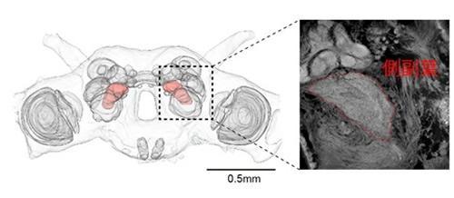 カイコガの脳の構造。脳の中央付近に側副葉が位置する(赤)