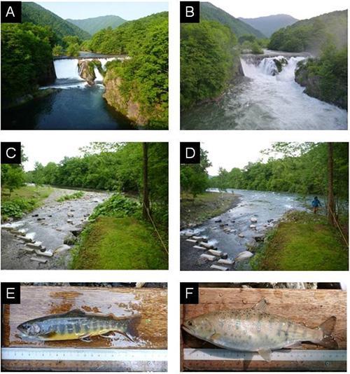 放水後(A)と放水中(B)の札内川本流(ピョウタンの滝)、および支流(C: 放水前,D:放水中)の様子