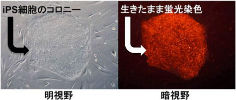 ヒトiPS細胞を生きたまま可視化