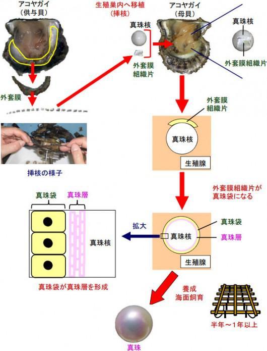真珠養殖の方法