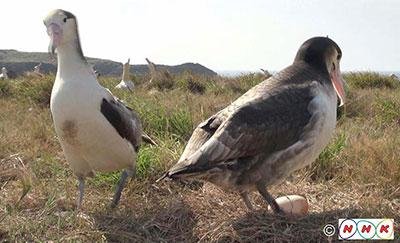 昨年11月に産卵が確認された雄雌のペア。左が雌。