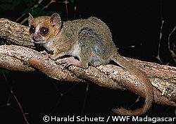 世界最小の霊長類「マダムベルテネズミキツネザル」