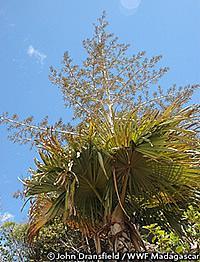 ヤシの新種「Tahina spectabilis」