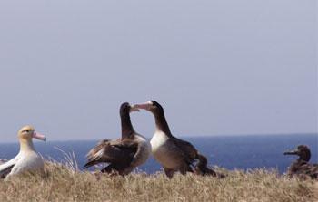 2008年に巣立ち聟島に戻ってきたアホウドリ(中央の2羽)