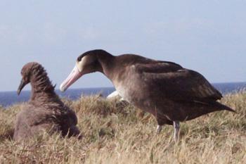 小笠原諸島聟島に里帰りしたオスのアホウドリ