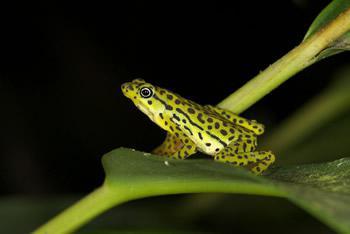 16年ぶりに生存が確認されたエクアドルの希少カエル