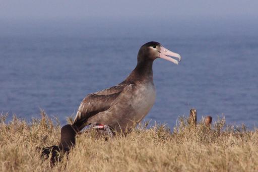 婿島の戻っていることが確認されたアホウドリ
