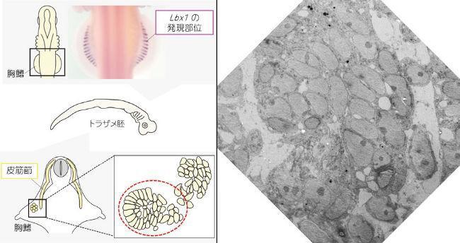 図4(左) トラザメの胚の筋肉のもとになる細胞に色をつけた写真(上)、胸ビレの細胞を図解したもの(下)(提供・岡本恵里さん、田中幹子さん) 画像3(右) トラザメの胚の胸ビレの電子顕微鏡画像。丸いものが筋肉のもとになる細胞(提供・岡本恵里さん、田中幹子さん)