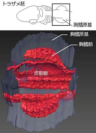 図5 切片で観察された遺伝子発現パターンから構築した3D画像。皮筋節と胸ビレ筋の間が離れていることが分かる。(提供・岡本恵里さん、田中幹子さん)