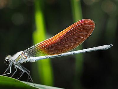 写真3 昆虫の羽の例(ニホンカワトンボ)