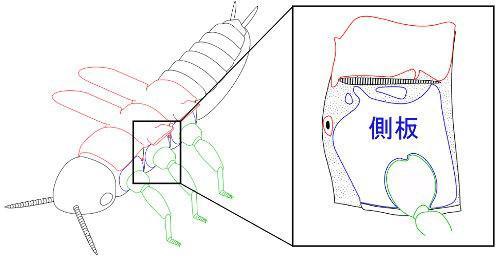 図1 昆虫の側板(青色で囲われた脚の付け根の部分)。背面の外骨格と同様に硬い(提供・真下雄太さん)