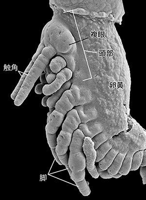 画像2 フタホシコオロギの胚を走査型電子顕微鏡で撮影した画像。左上部が頭部で、触角が2本突き出している。下部の長い3本が脚になる部分。背面に張り付いているのは卵黄で、胚の成長と共に体内に取り込まれていくという(提供・真下雄太さん)