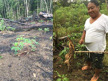 焼畑農業で植えられたキャッサバ。多種の農産物と共に樹木を植える昔からの農業は、近年見直されている(池田さん提供)