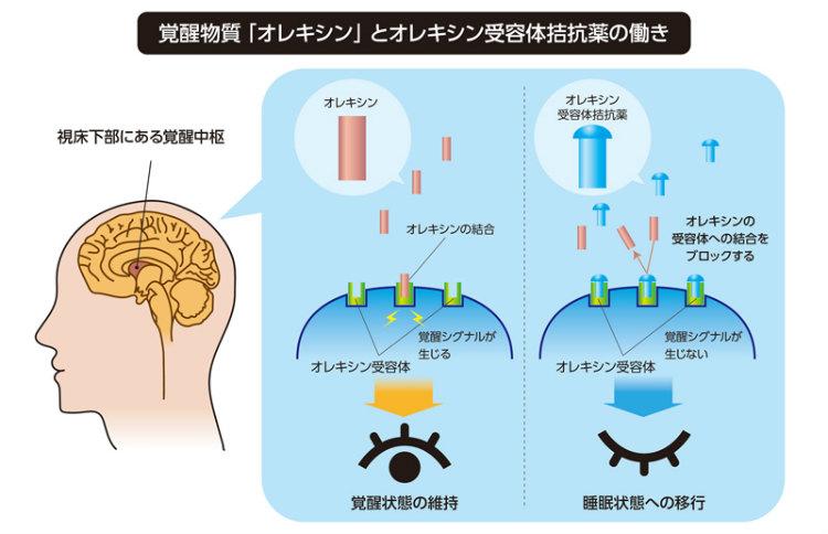 受容 拮抗 薬 体 オレキシン