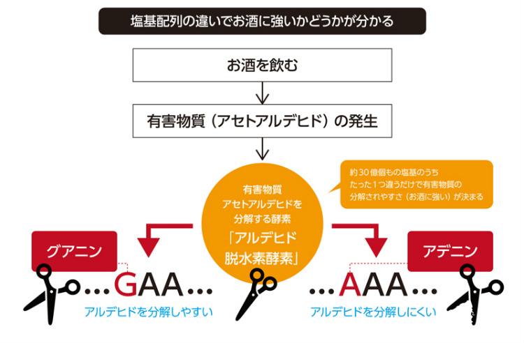 DNAは四種類の塩基「ATCG」の複数の組み合わせで成り立っている。Aは「アデニン」、Tは「チミン」、Cは「シトシン」、Gは「グアニン」という。お酒に強い人は「G」を、お酒に弱い人は「A」を持っている。 人間はお酒を飲んだ時に発生する有害物質アセトアルデヒドを分解することで悪酔いしにくい体質になるが、「A」を持つ人は、お酒を飲むとアセトアルデヒドが分解されにくくなり、悪酔いしやすくなる。