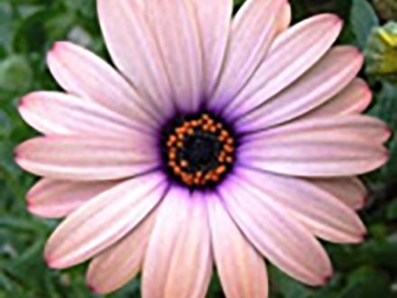 イオン照射でパステルカラーの花色実現