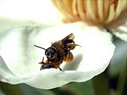 遊んでばかりでなかったハチのオス