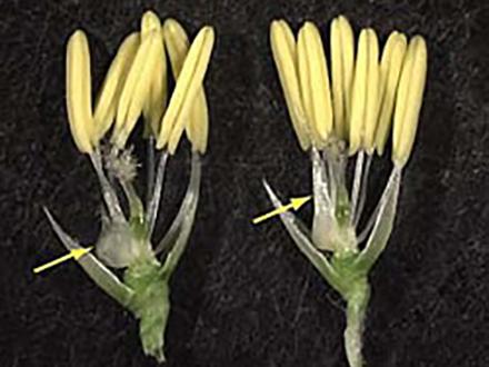 花粉が飛散しないイネ開発