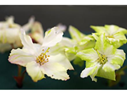 重イオン照射で黄色い花咲くサクラの新品種