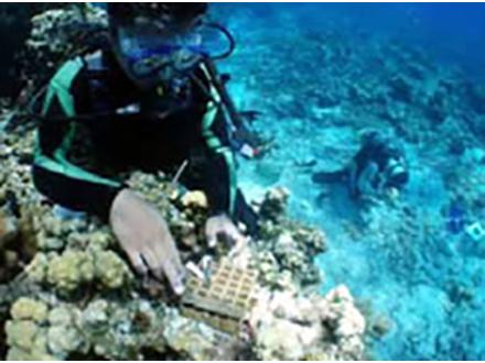 沖ノ鳥島水没防止目指しサンゴ移植