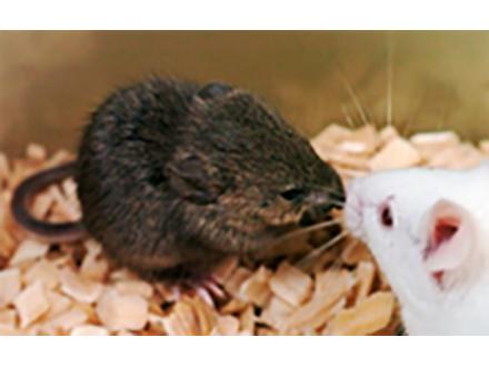 死後16年凍結保存の細胞からクローンマウス誕生