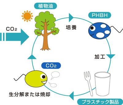 【PHBHのライフサイクル】PHBHは、食用油などの植物油脂を原料として微生物の体内にポリマーが蓄積され、有機溶剤を使わないプロセスで形成されて製品化に至る。また、一般的なプラスチックとは異なり、土壌や海水の中など自然環境下で二酸化炭素と水に分解される。 ※資料提供:株式会社カネカ