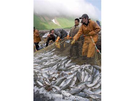 カムチャッカ半島でサケの密猟急増