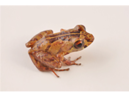 エクアドルでカエルやトカゲなど7新種発見