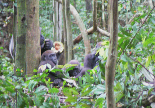 果実トレキュリア・アフリカーナを分配して食べるゴリラ。 ※画像提供:山極壽一