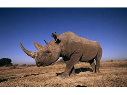 アフリカのサイ組織的密猟で危機に
