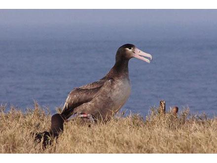 新たに3羽のアホウドリ聟島に里帰り