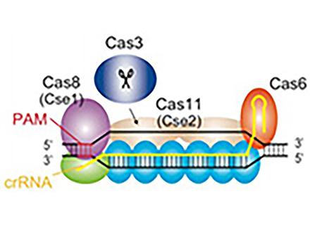 大阪大学など国産の新ゲノム編集手法を開発 編集ミス少ない長所も