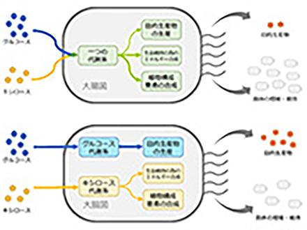 大腸菌の代謝系を改変し、ナイロン原料の生産性8倍 神戸大など