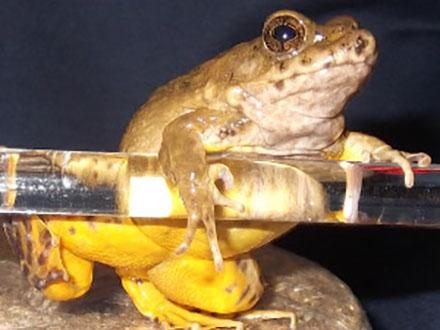 佐渡で新種のサドガエル