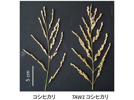 花粉管の簡単な遺伝子制御法を開発